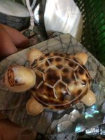 Tiger Cowrie Turtle w/ Carvings
